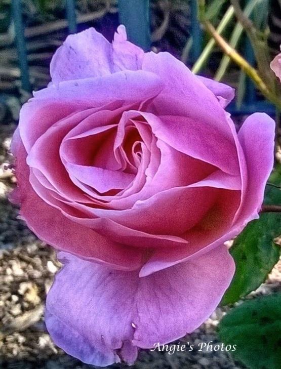 pinkrose01