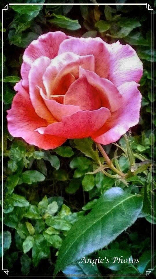 pinkrose02_Fotor