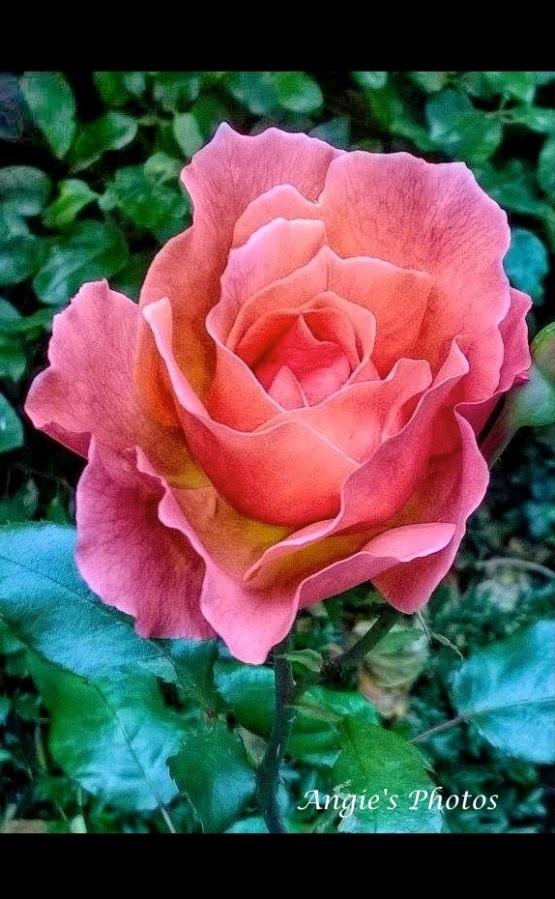 pinkrose03_Fotor