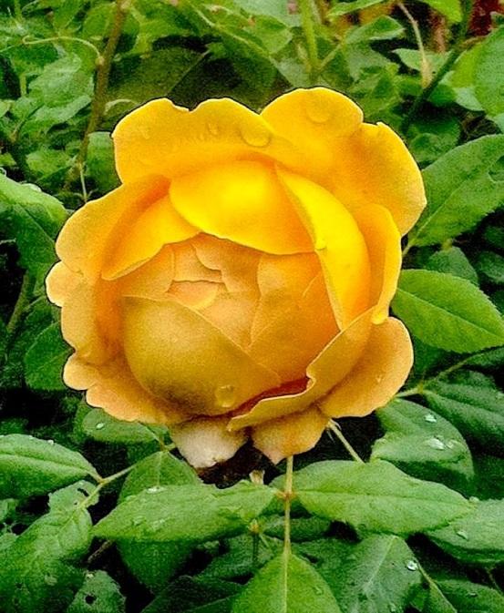 rainonrose01