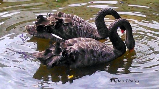 two-swans