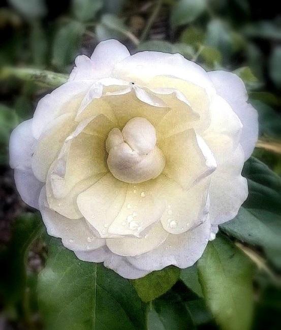 whiteroseblur
