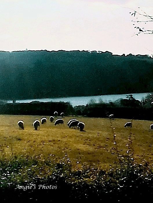 lakesheep