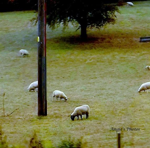 sheepdriveby